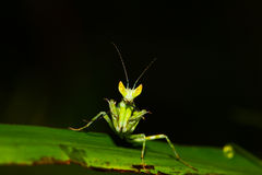 Green mantis mantide Stock Photos