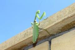 Green Mantis Stock Photography