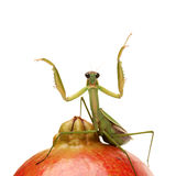 Green mantis on the pomegranate Royalty Free Stock Photo