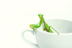Green Mantis is posing on a white porcelain cup, close up, selec. Tive focus. Mantodea, Mantopter. Concept of good morning, surprise, gift Stock Photos