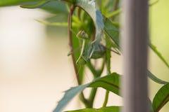 Green Mantis religiosa on Leaves. On Sunset Upside Down, Praying Mantis Stock Images