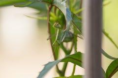 Green Mantis religiosa on Leaves. On Sunset Upside Down, Praying Mantis Royalty Free Stock Image