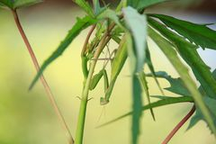 Mantis religiosa on Plant on Sunset stock images