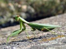 Green mantis. On the rock Stock Photos