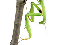 Green mantis sitting on a branch Royalty Free Stock Images