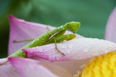 Green mantis sitting on lotus flower petals with water drop on it`s body in an early dew morning stock photos