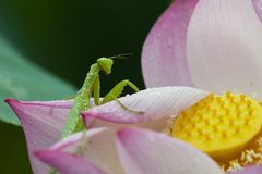 Green mantis sitting on lotus flower petals with water drop on it`s body in an early dew morning Royalty Free Stock Photos