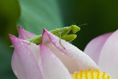 Green mantis sitting on lotus flower petals with water drop on it`s body in an early dew morning Royalty Free Stock Image