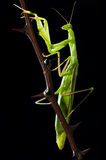Green mantis on thorny sprig Stock Photos