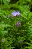 Green manure phacelia tanacetifolia flower and crop Royalty Free Stock Photography