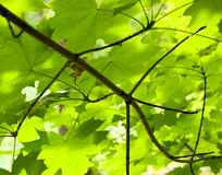 Green maple Stock Image