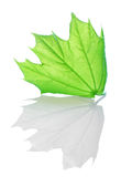 Green maple Royalty Free Stock Photography