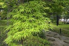 Green maple Royalty Free Stock Photo