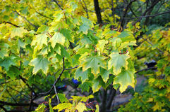 Green maple autumn Royalty Free Stock Images