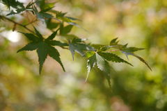 Green maple. Autumn leaves before changing their color Royalty Free Stock Photo
