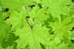 Green maple background. Green maple leaves in spring Stock Photo