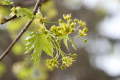 Green maple blooms Stock Photos