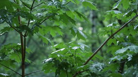 Green maple branches under the falling rain stock footage