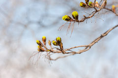 Green maple buds Royalty Free Stock Photo