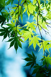 Green maple foliage Royalty Free Stock Photo