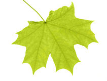 Free Green Maple Leaf Stock Photography - 11270472