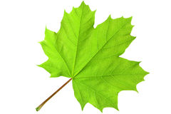 Green maple leaf. Closeup isolated on white background Stock Images