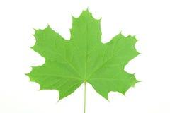 Green maple leaf Stock Photos