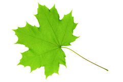 Green maple leaf Stock Photography