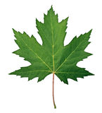 Green Maple Leaf. As a spring and summer seasonal themed nature concept also an icon of the fall weather on an isolated white background Royalty Free Stock Image