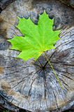Green Maple Leaf in Autumn (Acer platanoides) Stock Images