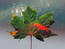 Green maple leaf with autumn drawing. On background of the drop in rain royalty free stock photo