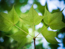 Green maple leaf background. Autumn, Green maple leaf  background Royalty Free Stock Image