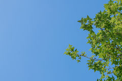 Green maple leaf background blue sky. Green nature background maple leaf blue sky royalty free stock photos