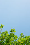Green maple leaf  background blue sky. Green nature background maple leaf  blue sky Royalty Free Stock Image