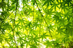 Green maple leaf background. Close up Stock Photography