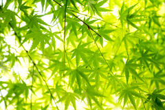 Green maple leaf background. Close up Royalty Free Stock Photo