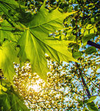 Green maple leaf on the background of the setting sun in the for. Green maple leaf on the background of setting sun in the forest Royalty Free Stock Photography
