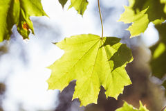 Green maple leaf backlit by the sun Stock Photos