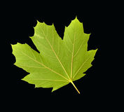 Green Maple leaf on a black background Stock Image