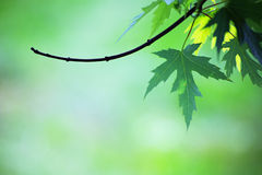 Green maple leaf on blurred background Royalty Free Stock Photography