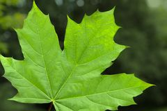 Green maple leaf on blurred background Stock Photos