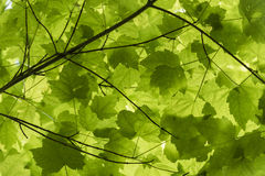 Green Maple Leaf Canopy. Green canopy of maple leafs in springtime royalty free stock images