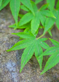 Green maple leaf Royalty Free Stock Image