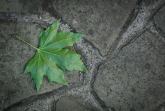 Green maple leaf. Fallen green maple leaf on the ground Royalty Free Stock Image