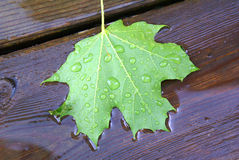 Green maple leaf fallen on wooden deck into rain puddle Royalty Free Stock Photos