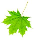 Green Maple Leaf Stock Photo