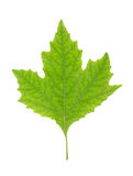 Green Maple Leaf isolated Stock Photo