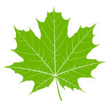 Green maple leaf. Isolated Vector Stock Image
