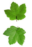 Green maple leaf isolated on white Royalty Free Stock Photo