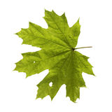 Green maple leaf isolated on a white background Stock Photos